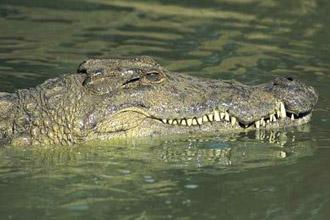 В Мексике сбегали 300 крокодилов