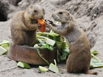 Из зоопарка в Огайо сбегали луговые собачки