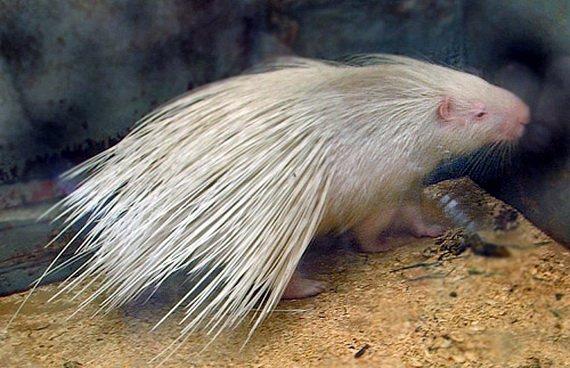 В Краснодаре из зоопарка сбегал дикобраз-альбинос