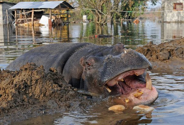 Из зоопарка в Черногории сбегал бегемот
