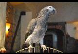 """В кав ярні """"Золотий Дукат"""" оселився розумний папуга Жако на ім я Арчі"""