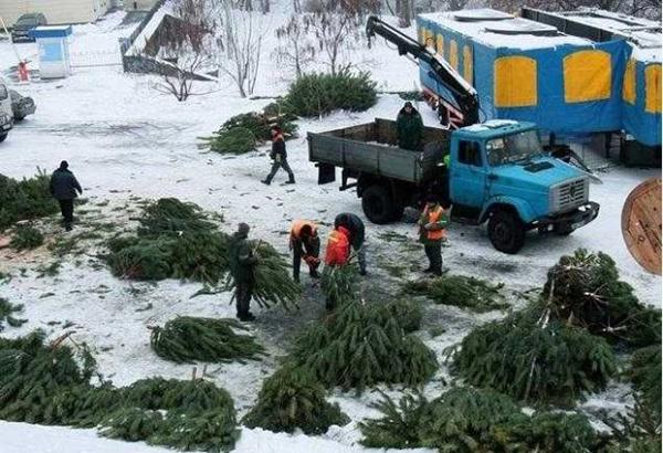 Штраф за срезанное хвойное дерево может достигать 13,5 тысяч грн.