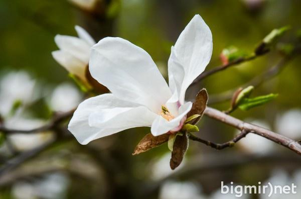 В Ботаническом саду им. Фомина массово начали расцветать магнолии