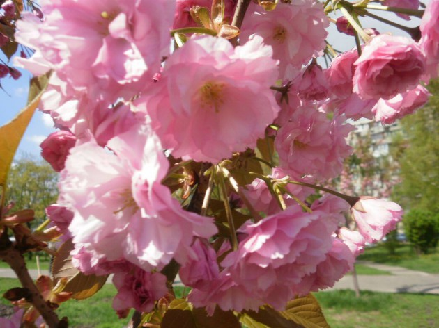 "В парке ""Киото"" 21 апреля зацвела целая аллея сакур"