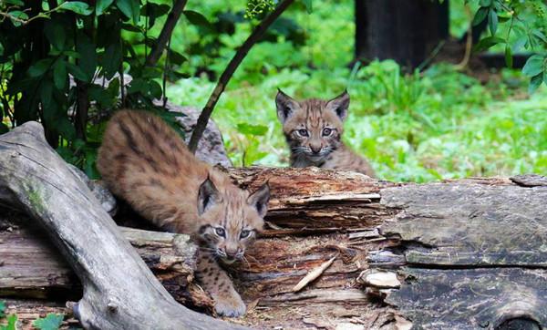 В Киевском зоопарке пополнение: у карпатских рысей - Кунака и Рики - появилось двое забавных котят