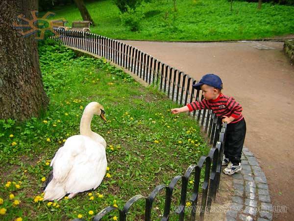У Стрийський парк львів'яни приходять фотографуватися із живими лебедями