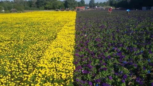 Под Киевом в музее Пирогово создали гигантский сине-желтый флаг из цветов, который растянулся на 15 тыс. м²