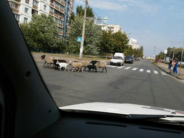 Очевидцы сфотографировали животных, когда те спокойно переходили дорогу по пешеходному переходу