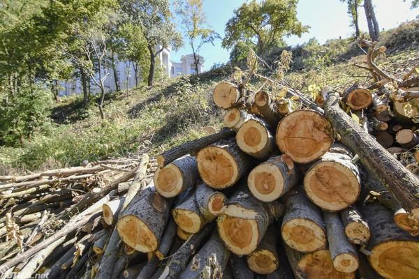 Неизвестные самовольно вырубили 163 дерева на склонах Старокиевской горы возле Исторического музея