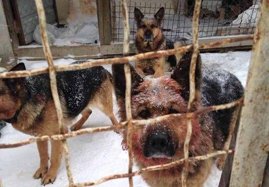 Животные-убийцы. Всех агрессивных овчарок застрелили. Фото: kv.npu.gov.ua