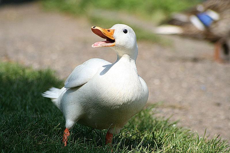 На столичном озере живет утка-альбинос. Фото