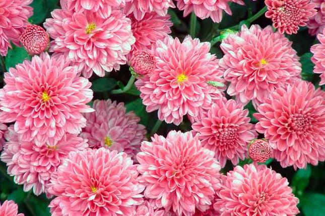 На Певческом поле состоится большой фестиваль хризантем