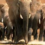 Африка: Королевство слонов