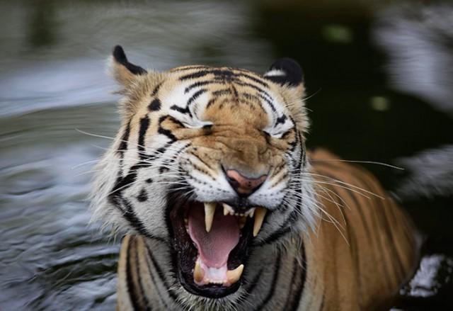 Из зоопарка в Индии сбегали два тигра