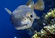 """В аквариуме ресторан """"Марлин"""" появился новый обитатель: знакомьтесь, иглобрюх!"""