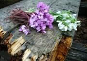 Киевлянам напомнили о штрафах за уничтожение и продажу первоцветов