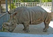 В киевском зоопарке носорога посадят на диету, а медведей закармливают