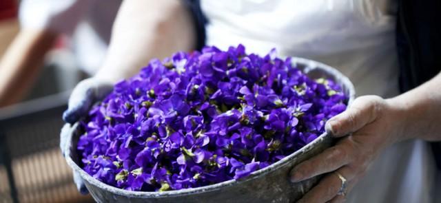 В рамках фестиваля будут представлены более 5000 сортов цветущих фиалок