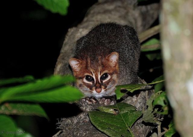 Картинки по запросу Суматранская кошка