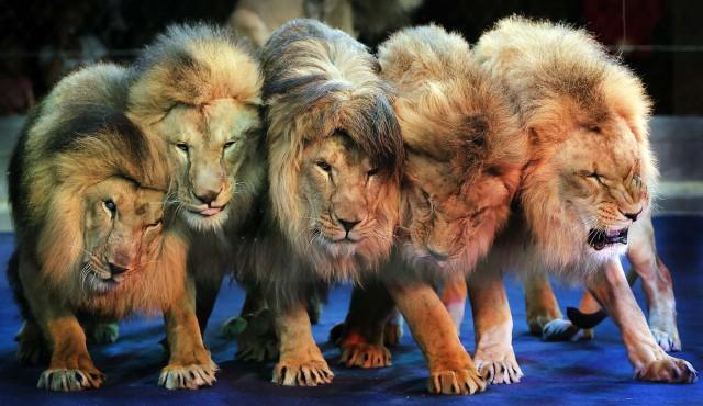 Стартовала кампания по запрету использования животных в цирках