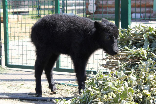 У яков в столичном зоопарке родился малыш Бобби
