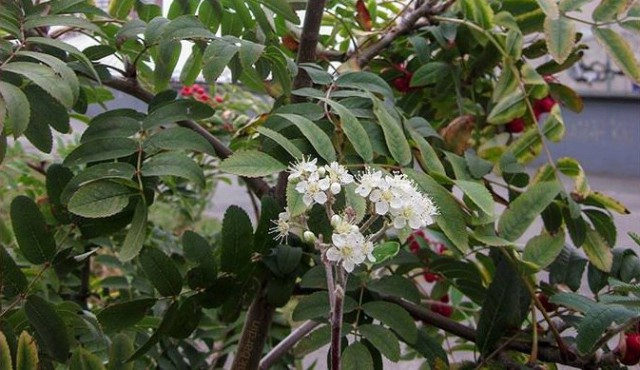 На одном дереве теперь есть как цветущие ветки, так и гроздья ягод