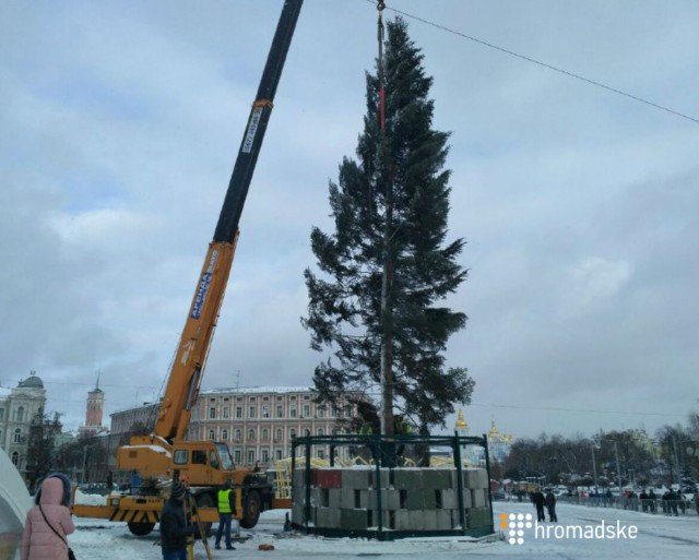 Высота дерева — 26 метров