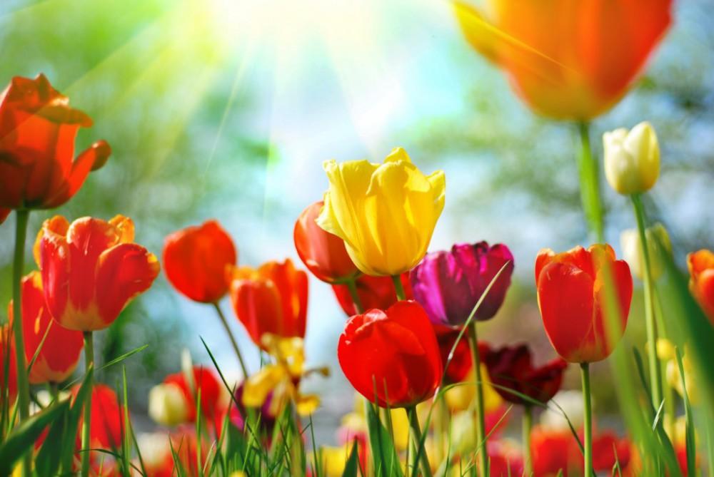 В Киеве откроется выставка тюльпанов