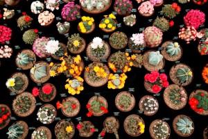 В Киеве пройдет выставка кактусов