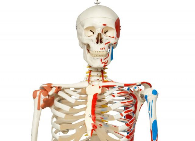"""Модель скелета """"Сэм"""""""