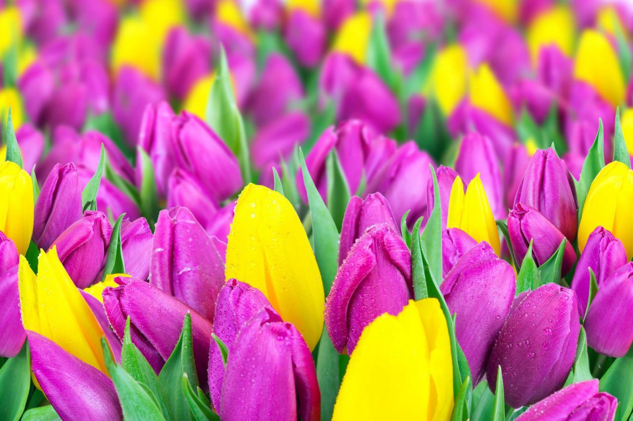 В Киеве открывается большая выставка тюльпанов