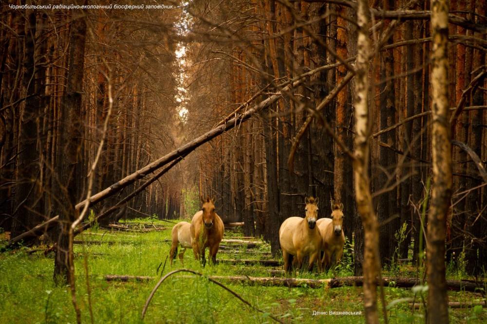 Цветение вереска и лошади Пржевальского: как восстановился Чернобыльский заповедник после пожаров