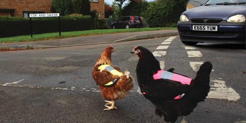 Мир сошел с ума: британским курицам выдали светоотражающие жилеты