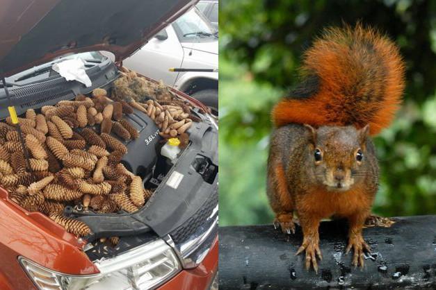 Когда очень запасливый: белка спрятала 20 кг шишек под капотом машины