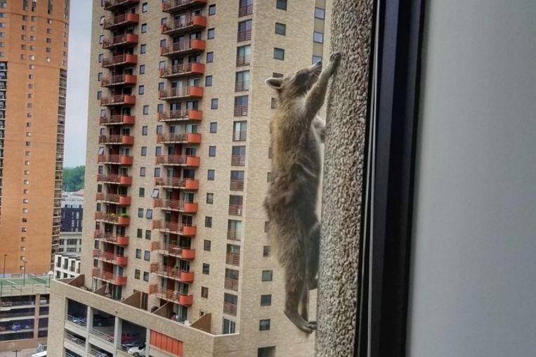 В Америке енот решил забраться на небоскреб. За ним наблюдали в режиме онлайн