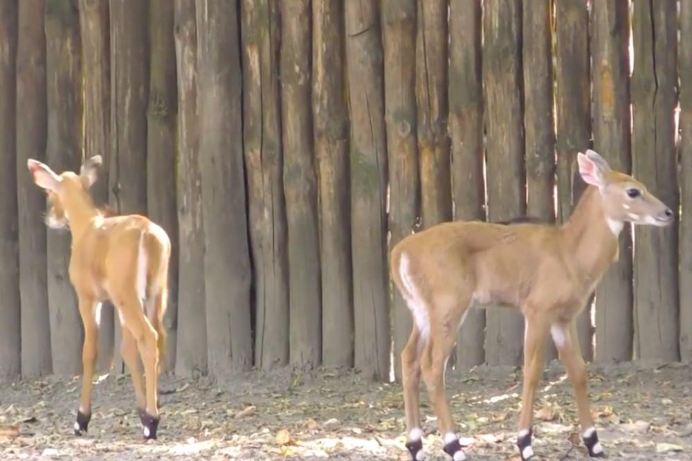 В Киевском зоопарке появились новые маленькие антилопы. Фото